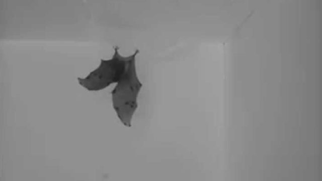 Bats flip like Tony Hawk to land upside down