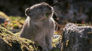 Collared Pika Prepares For Winter – Wild Alaska