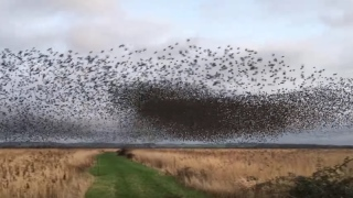 An amazing murmuration of 70,000 starlings