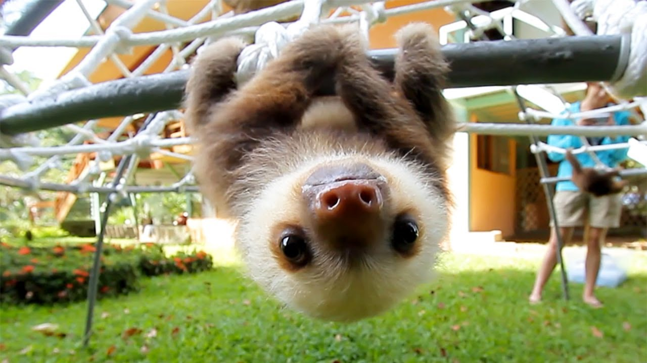 What do baby sloths sound like?   The Kid Should See This Baby Sloths