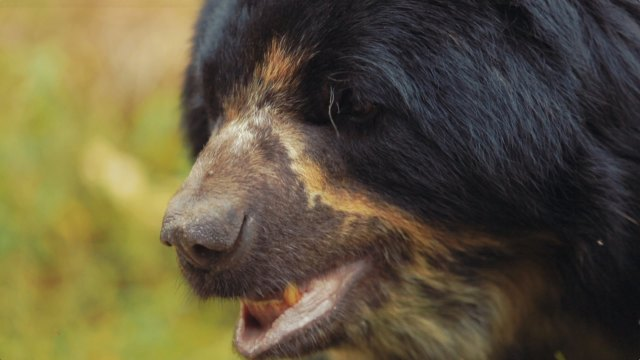 Saving the Andean Bear, South America's only bear species