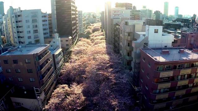 Cherry blossoms over Tokyo's Meguro River by drone