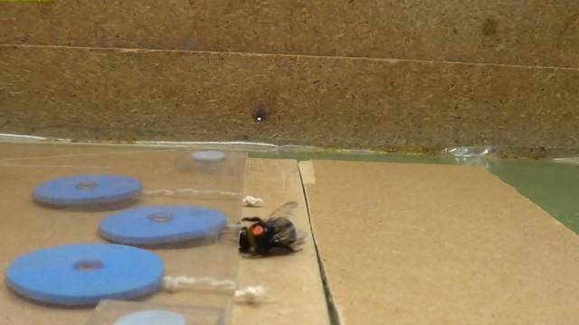 Can bumblebees teach each other to pull a string?