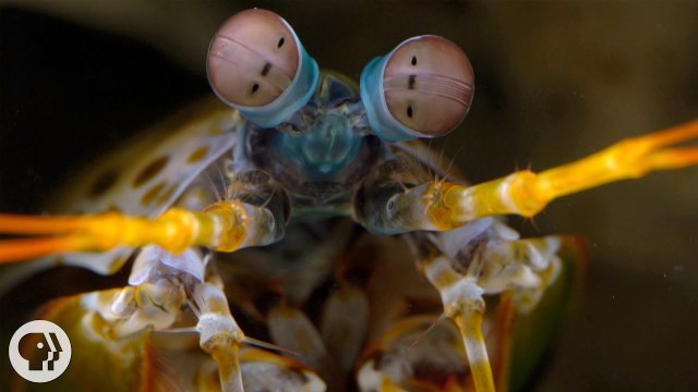 The Snail-Smashing, Fish-Spearing, Eye-Popping Mantis Shrimp