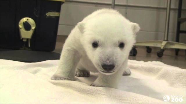 Toronto Zoo: Polar bear cub's first steps