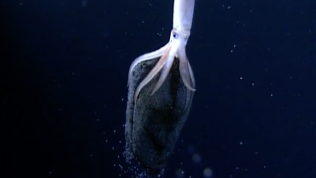 Born Like Stars: An egg-brooding squid and its hatchlings