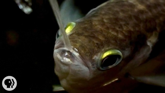 How smart is a spitting archerfish?