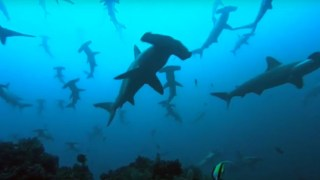 Thousands Of Sharks Visit A Seamount