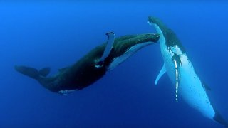 Two beautiful humpback whales dance
