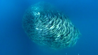 Predators Attack Fish Bait Ball – Blue Planet