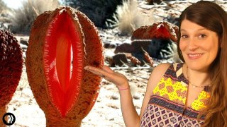 Hydnora africana, the strangest plant in the world?
