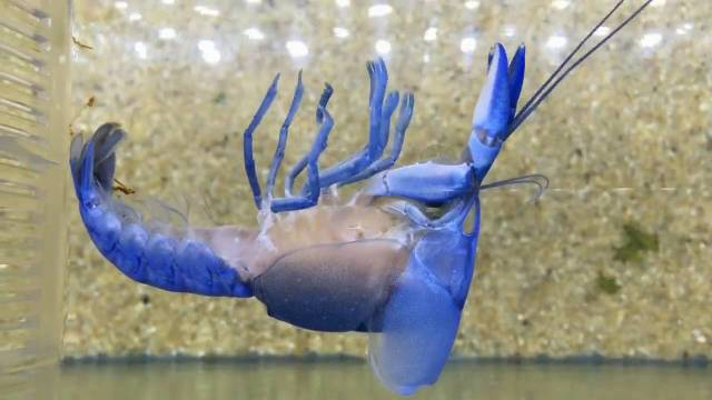 A molting blue crayfish
