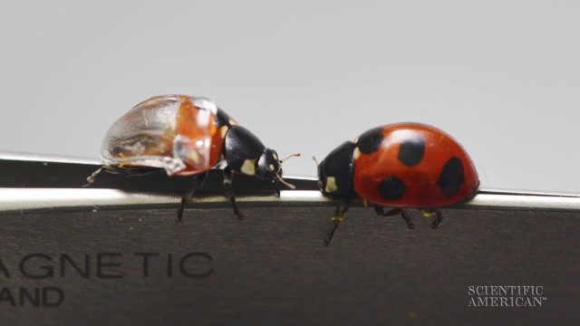 A window into ladybug wing origami
