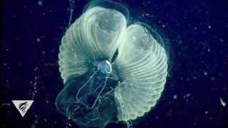 'Giant' larvaceans filter the ocean with mucous webs