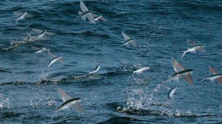 Flying Fish, hunted underwater and in the air