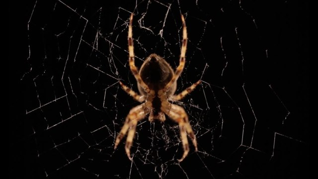 A garden orb web spider weaves its web in time lapse