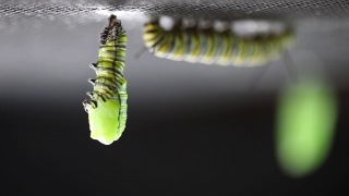 The caterpillar to chrysalis transformation in real time