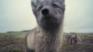 Curious arctic fox kits discover (and destroy) a motion-sensor camera
