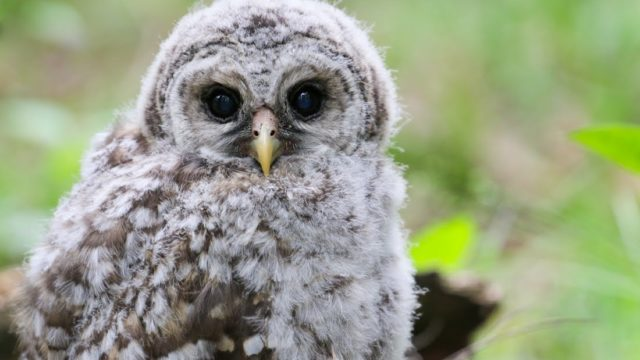 Barred Owl Chick Regurgitates Pellets – Incredible Close Up