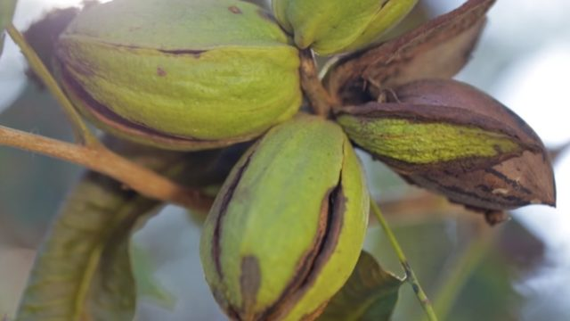 Pecan – How Does it Grow?