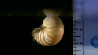 Cephalopod aquarists film tiny chambered nautilus hatchlings