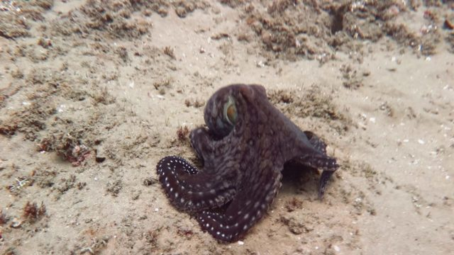 An octopus changes its colors and textures as it swims away