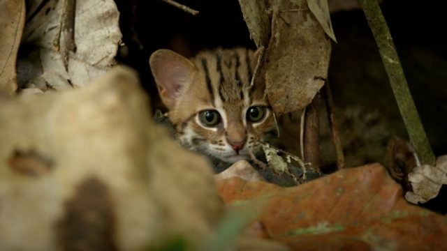 Is this the world's smallest wild species of cat?
