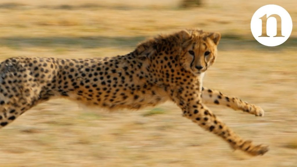 Anatomy of a hunt: Speed, strategy and survival | The Kid Should See ...