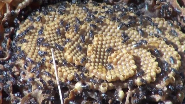 The spiral nest architecture of Australia's stingless sugarbag bee