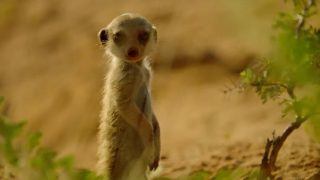 The secret belowground life of newborn meerkat pups