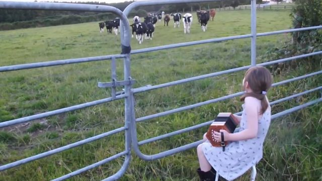 Grace Lehane plays her concertina for the cattle in Kilmichael Cork