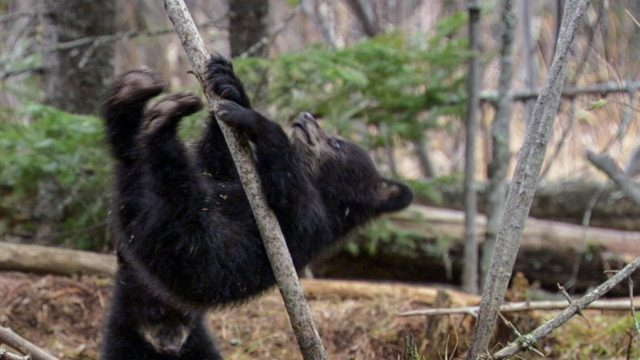 Black bear cubs learn to scamper up trees (sort of)