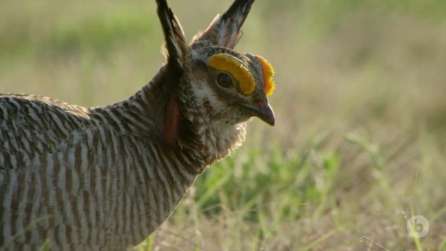 Stomping, fluffing, puffing: The mating displays of lesser prairie-chickens
