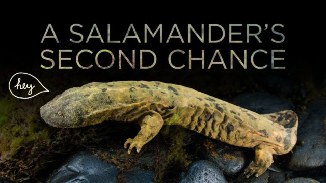 Repopulating an Ohio creek with giant salamanders