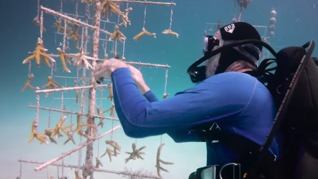 Rebuilding the world's coral reefs with coral farming