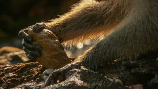 Long-tail macaques use stone tools to open shells