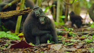 The communal support within Crested Black Macaque monkey troops