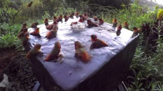 Over thirty hummingbirds splash & chatter in a bird bath