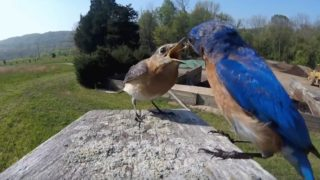What do bluebirds eat?