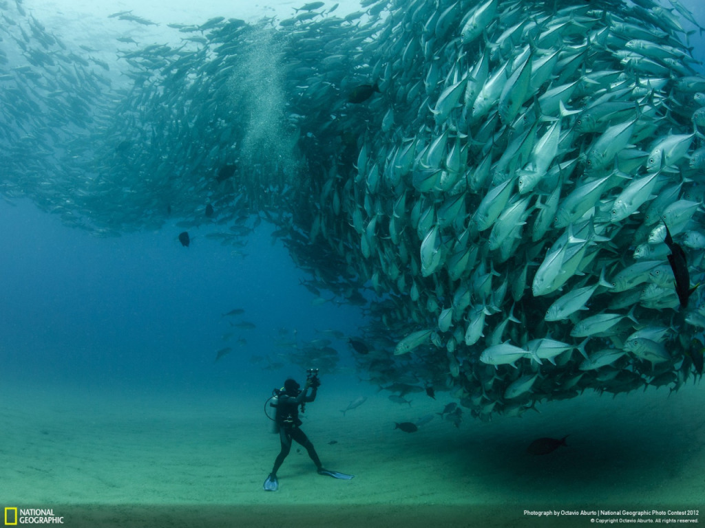 A school of Jack fish loom over a diver who is looking up and photographing them