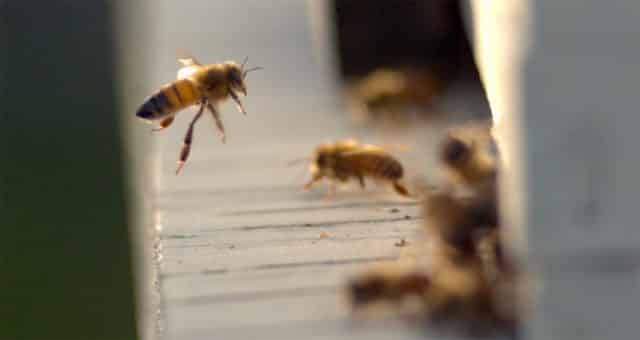 bees returning to the hive