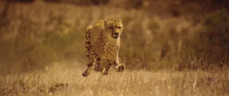 cheetah feet - off the ground