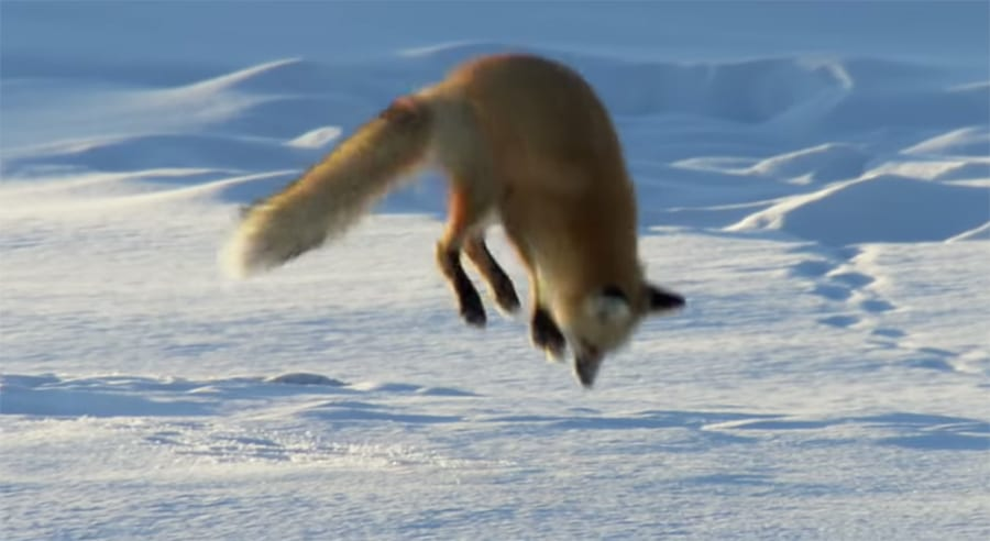 magnetic field - jumping red fox