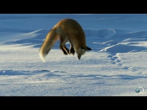 The Earth's magnetic field helps foxes target mice in the snow