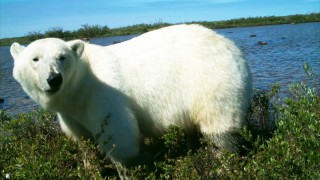 Polar Bears Eat Goose Eggs: New eating habits in warmer climates