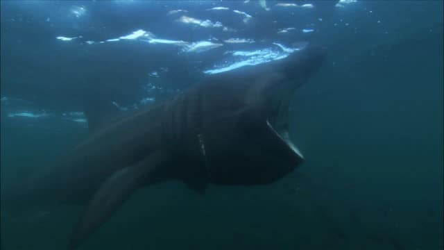 The Basking Shark: A gentle giant with a piano-sized mouth