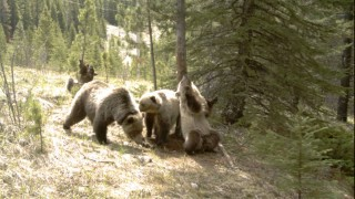 Bears in the forest: What goes on when you are not there…