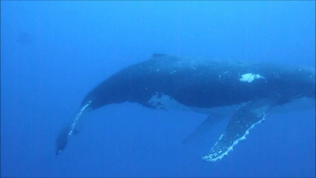 A Surprise Diving Encounter with a Humpback Whale