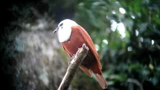 The bell-like call of the Three-Wattled Bell Bird