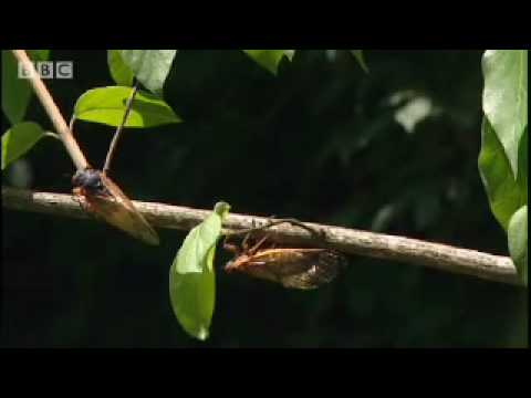 BBC Life in the Undergrowth: Amazing Cicada Life Cycle